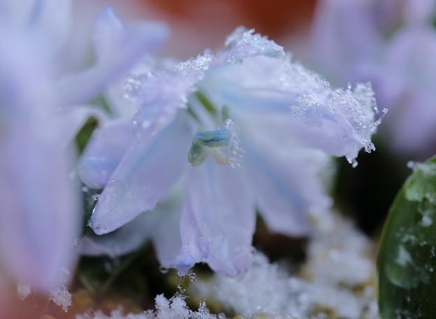 シラーチューベルゲニアナ 3月の泡雪(1)