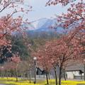 写真: 菜の花ロードと河津桜