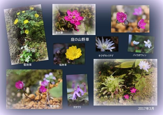 3月の庭の山野草