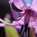 カタクリ(1) 春の妖精