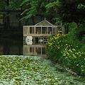 白鳥小屋とキショウブ