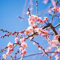 写真: 梅の木
