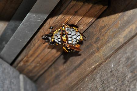 再生アシナガ蜂の巣20160626
