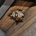 再生、アシナガ蜂の巣20160626