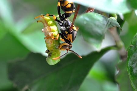 フタモンアシナガ蜂0717