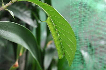 オオスカシバ幼虫160726_1