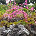 写真: アサヒカズラ_1 竹富島