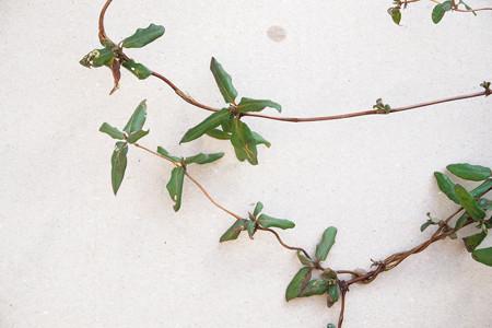 不明つる植物_1 (スイカズラ)