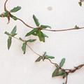 写真: 不明つる植物_1 (スイカズラと判明)