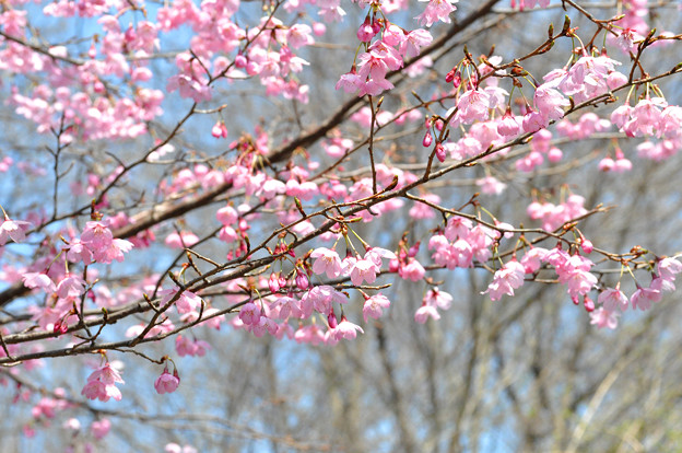 写真: 桜 20170329_1