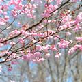 桜 20170329_1