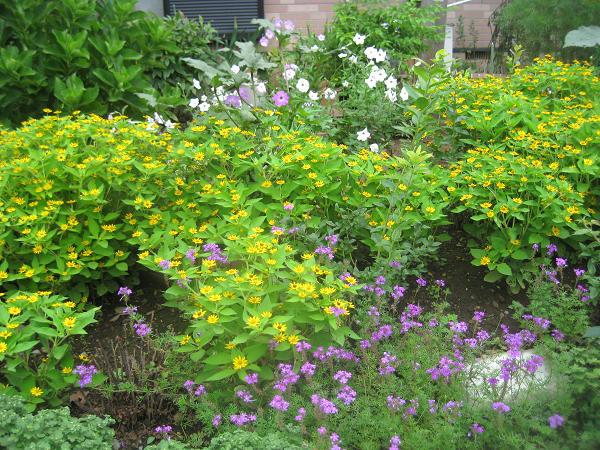 メランポジウムがメインの庭