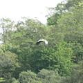 羽ばたくコウノトリ