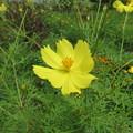 黄色いコスモス。