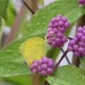 紫式部に留まるモンキチョウ