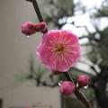 Photos: 梅に滴。