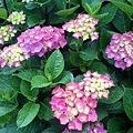 Photos: 紫陽花1