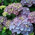Photos: 紫陽花2