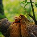 カツアゲ(鶏だけど)
