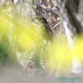 写真: 黄色水仙とジョビ子ちゃん