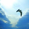 カモメ松島の空を飛ぶ