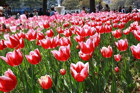 横浜公園のチューリップ(2)