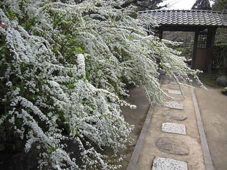 海蔵寺のユキヤナギ