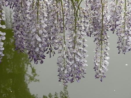 水面に咲く