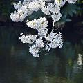 Photos: 池上に白桜