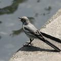 ハクセキレイの若鳥、親恋し