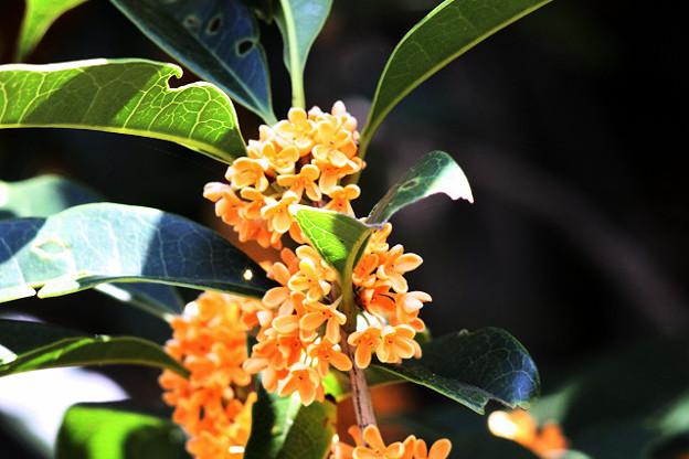 Photos: 香りの花 金木犀