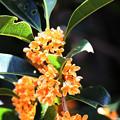 香りの花 金木犀