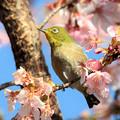 Photos: 河津桜も餌場です
