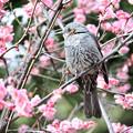 Photos: お邪魔虫な花ヒヨドリ