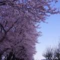 満開だった海軍道路の桜並木・・20140405