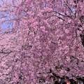 弘明寺大岡川に咲く枝垂れ桜とカメラマン・・20140406