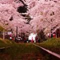 線路から見た桜のトンネル・・20140501