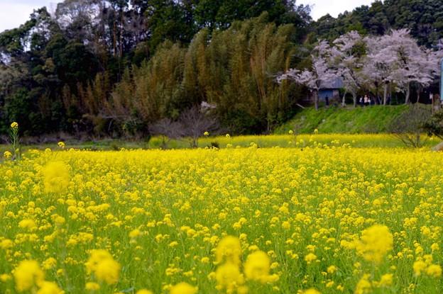 トロッコ列車を待つ。。春の小湊鉄道 菜の花畑 20160409