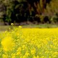 小湊鉄道 一面菜の花畑。。20160409