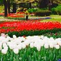 いい構図で撮りたいと。。思うおじいちゃん 昭和記念公園チューリップ 20160416