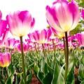 ピンクなチューリップの世界。。昭和記念公園 20160416