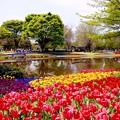 穏やかの日の昭和記念公園チューリップ畑 20160416