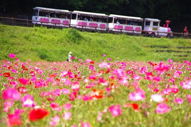 ポピー畑を走るトロッコ列車。。くりはま花の国 20160529