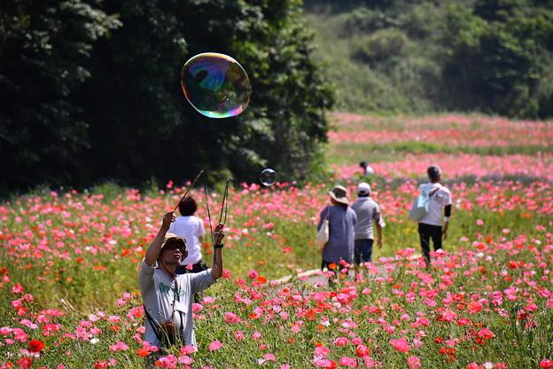 ポピー畑にシャボン玉飛ばす。。くりはま花の国