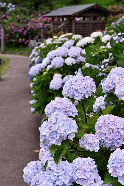 横須賀しょうぶ園の紫陽花も見事に。。20160619