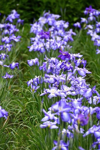 横須賀しょうぶ園。。綺麗な紫色の花菖蒲 20160619