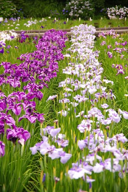 横須賀しょうぶ園。。綺麗に色分けされて咲く花菖蒲 20160619