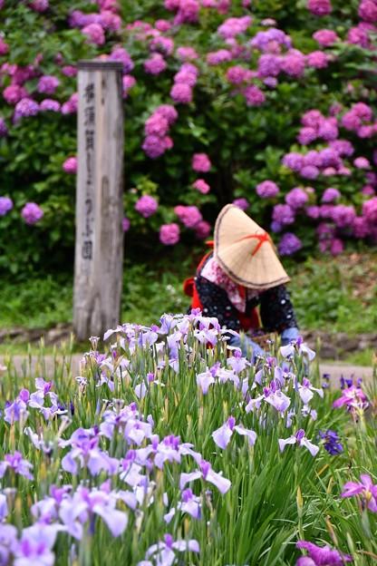 横須賀しょうぶ園。。菖蒲娘と花菖蒲。。20160619