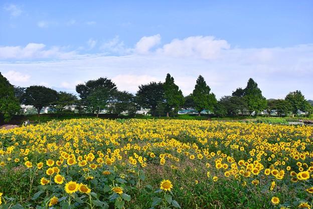 撮って出し。。お盆休み最後に台風前の晴れ 座間ひまわり畑へ 8月16日