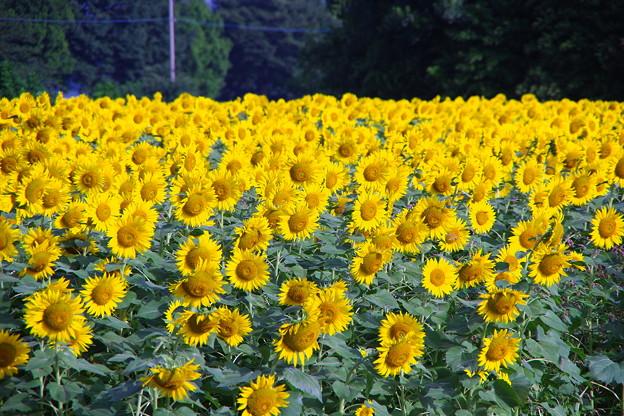 撮って出し。。お盆休み最後に台風前に座間ひまわりいっぱい咲いて 8月16日